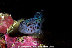 Leopard-spotted goby (Thorogobius ephippiatus). by Joao Pedro Tojal Loia Soares Silva 